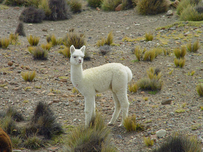 We traveled up, up, up onto the altoplano. This cute little llama wasn't quite big enough to make a sweater. It was COLD up there!