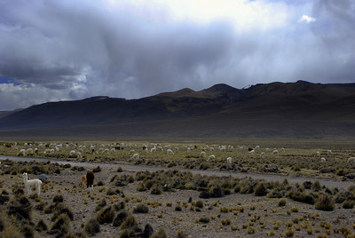 A large herd of llamas grazed as we passed by in the bus.