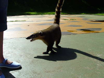 Next stop Iguacu Falls (Brazillian side). This coati was the official greeter at the entrance. A tip was mandatory.
