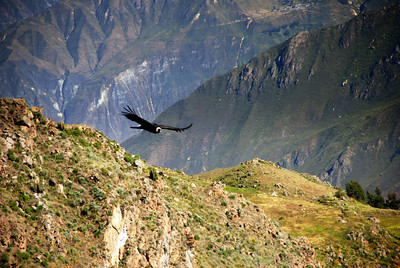 Ah! There's a condor! It is impossible to tell exactly how large these birds are from the photographs. Their wing spans are about 6'.