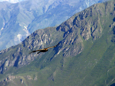 Another condor soaring up from the cliffs below. They wait for the sunlight to heat the air so they can ride the thermals up.