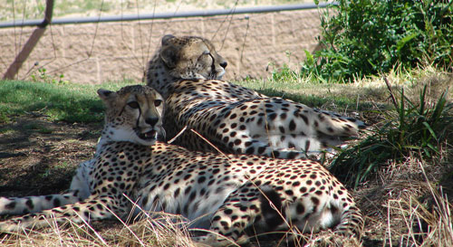 Cheetahs at the San Diego Wild Animal Park. The CryoCor annual picnic was held at the park.