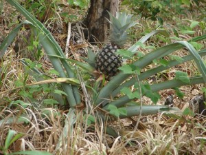 Pineapple plants were growing wild along the trail.